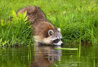 Raccoon (Procyon lotor) drinking from beaver pond. Acadia National Park, Maine, USA. June.