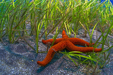Starfish (Echinaster sepositus) in seagrass bed, Tenerife, Canary Islands.