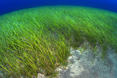 Little Neptune seagrass bed (Cymodocea nodosa) Tenerife, Canary Islands.