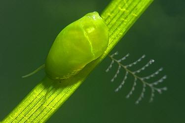 Sea snails (Smaragdia viridis) on Little neptune seagrass (Cymodocea nodosa) Tenerife, Canary Islands.