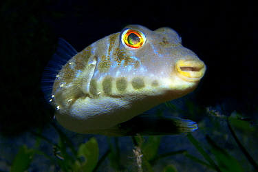 Bandtail puffer (Sphoeroides marmoratus) Tenerife, Canary Islands.
