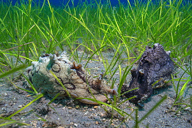 Sea hare (Aplysia dactylomela) in seagrass beds of Little Neptune grass (Cymodocea nodosa) Tenerife, Canary Islands.