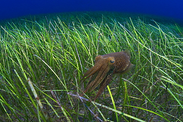 Cuttlefish (Sepia officinalis) hunting in a seagrass meadow with Little Neptune grass (Cymodocea nodosa) Tenerife, Canary Islands.
