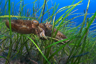 Cuttlefish (Sepia officinalis) reproducing in a seagrass meadow (Cymodocea nodosa) Tenerife, Canary Islands.