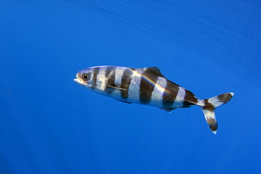 Pilot fish (Naucrates ductor) profile, Tenerife, Canary Islands.