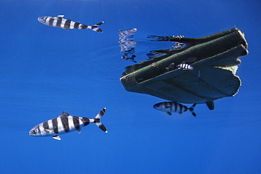 Pilot fish (Naucrates ductor) two with one sheltering under a drifting plastic lid. Tenerife, Canary Islands.