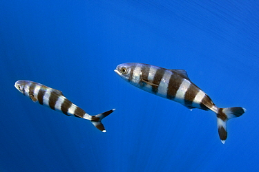 Pilot fish (Naucrates ductor) two, Tenerife, Canary Islands.