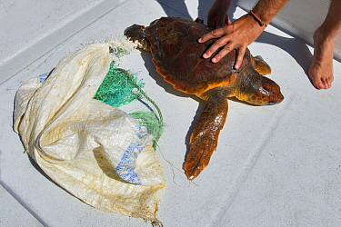 Rescued Loggerhead turtle (Caretta caretta) entangled in net, Tenerife, Canary Islands.