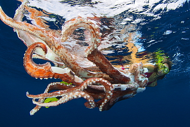 Diver looking at Giant squid ( Architeuthis) remains drifting in the open water, Tenerife, Canary Islands.