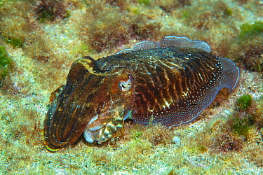 Cuttlefish (Sepia officinalis) Tenerife, Canary Islands.