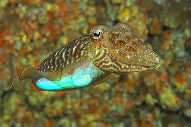 Cuttlefish (Sepia officinalis) changing its colour to a bright blue, Tenerife, Canary Islands.