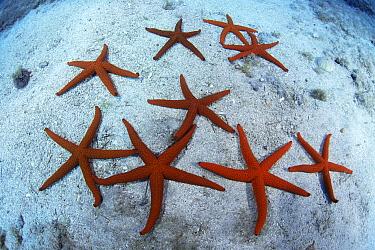 Red starfish (Echinaster sepositus) group on sea floor, Tenerife, Canary Islands.