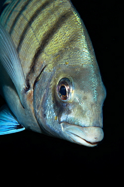 White bream (Diplodus sargus cadenati) portrait, Tenerife, Canary Islands.