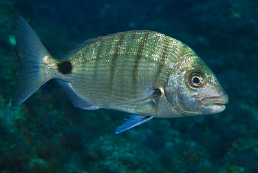 White bream (Diplodus sargus cadenati) profile, Tenerife, Canary Islands.