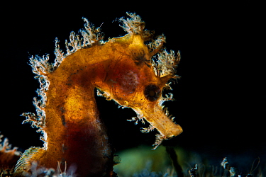 Short-snouted seahorse (Hippocampus hippocampus) Tenerife, Canary Islands.