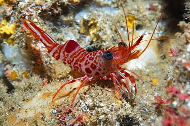 Atlantic dancing shrimp (Cinetorhynchus rigens) portrait, Tenerife, Canary Islands.