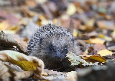 Hedgehog (Erinaceus europaeus) in woodland, Norfolk, England, UK. October.