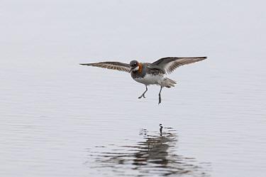 Red-necked phalarope (Phalaropus lobatus) female landing on Loch Funzie, Fetlar, Shetland, Scotland, UK, June.