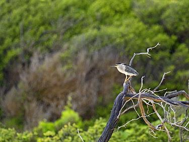 Striated / Green-backed heron (Butorides striata degens) perched in rain, Alphonse Atoll, Seychelles