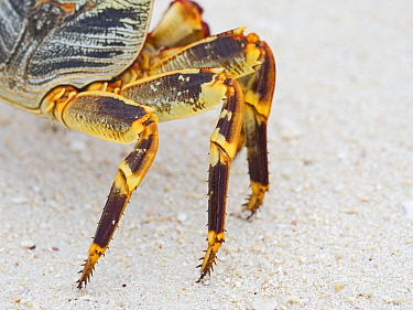 Natal lightfoot crab (Grapsus tenuicrustatus) close up of legs, Wizard Island, Cosmoledo Atoll, Seychelles