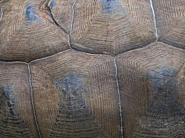 Carapace detail of Aldabra giant tortoise (Aldabrachelys gigantea) Astove Atoll, Aldabra island group, Seychelles