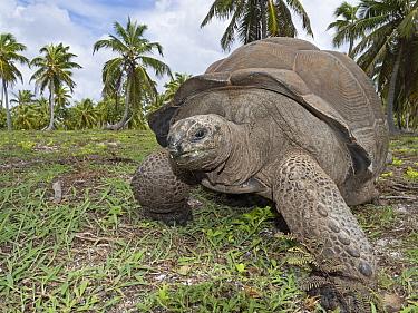 Aldabra gianttortoise (Aldabrachelys gigantea) Astove Atoll, Aldabra island group, Seychelles