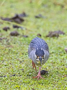 Striated / Green-backed heron (Butorides striata degens) Seychelles race, Alphonse Atoll, Seychelles