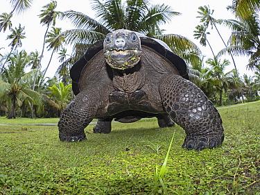 Aldabra giant tortoise (Aldabrachelys gigantea) portrait, low angle view, Astove Atoll, Aldabra island group, Seychelles