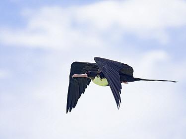 Great frigatebird (Fregata minor) in flight, St Francois Atoll, Seychelles