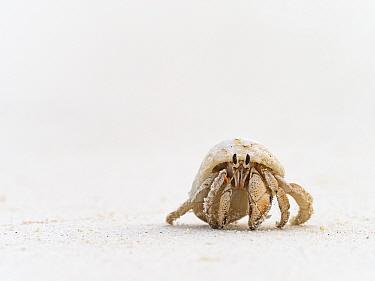 Stawberry hermit crab (Coenobita perlatus) juvenile, Wizard Island, Cosmoledo Atoll, Seychelles