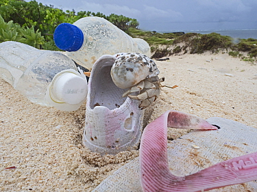 Stawberry hermit crab (Coenobita perlatus) juvenile, climbing over washed up rubbish, plastic bottles and shoes, on beach, Wizard Island, Cosmoledo Atoll, Seychelles