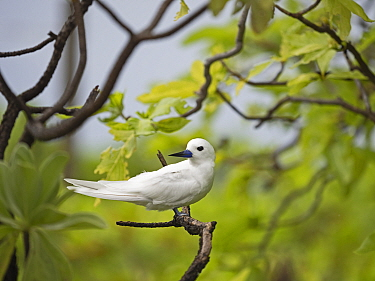 White / Fairy tern (Gygis alba) perched on Wizard Island, Cosmoledo Atoll, Seychelles