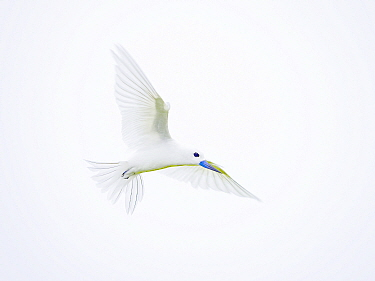 White / Fairy Tern (Gygis alba) in flight, with cloudy white sky, Wizard Island, Cosmoledo Atoll, Seychelles