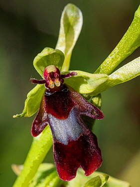 Fly orchid (Ophrys insectifera) an inconspicuous orchid of woodland margins on limestone throughout Europe. Umbria, Italy. May.