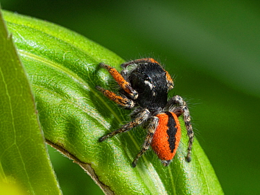 Jumping spider (Philaeus chrysops) Umbria, Italy, May.