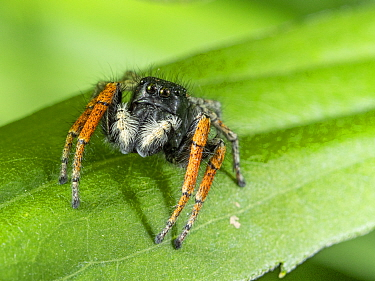 Jumping spider (Philaeus chrysops, Orvieto, Umrbria, Italy, May.