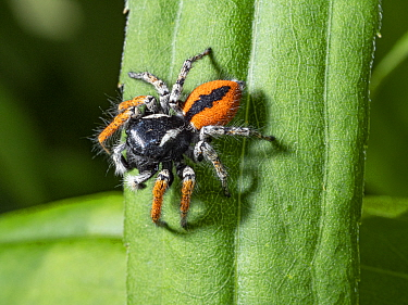 Jumping spider (Philaeus chrysops) Orvieto, Umrbia, Italy, May.