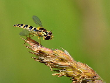 Long hoverfly (Sphaerophoria scripta) female grooming its head while standing on grass flowers in a meadow, Wiltshire, UK, July.