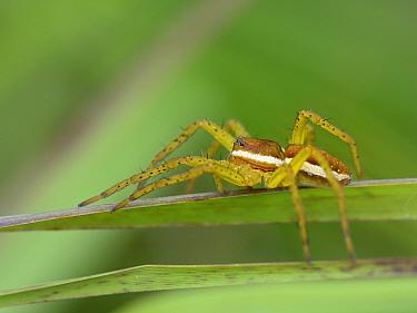 Raft spider (Dolomedes fimbriatus) juvenile among vegetation around a boggy pool, Studland Heath, Dorset, UK, July.