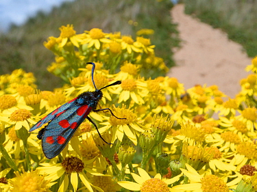 Six spot burnet moths (Zygaena filipendulae) nectaring on Common ragwort flowers (Senecio jacobaea) among coastal sand dunes, The Gower, Wales, UK, August.