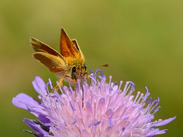 Small skipper butterfly (Thymelicus sylvestris) nectaring on a Field scabious flower (Knautia arvensis) with its long proboscis, chalk grassland meadow, Wiltshire, UK, July.