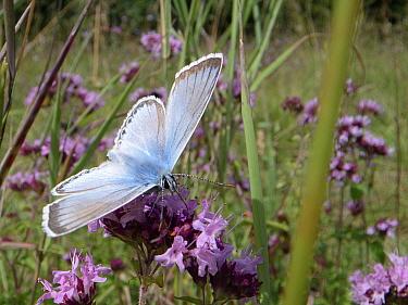Chalkhill blue buttefly (Lysandra coridon) male nectaring on Wild marjoram flowers (Origanum vulgare) in chalk grassland meadow, Wiltshire, UK, July.
