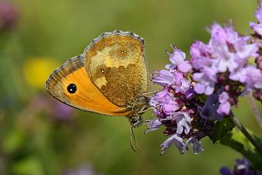 Gatekeeper / Hedge brown butterfly (Pyronia tithonus) nectaring on a Wild marjoram (Origanum vulgare) flowerhead, chalk grassland meadow, Wiltshire, UK, July.