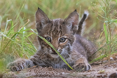 Portrait of a wild female Bobcat (Lynx rufus) kitten playing, Texas, USA. September.