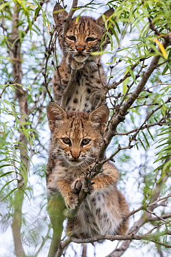 Portrait of two wild Bobcat (Lynx rufus) kittens in a tree, Texas, USA. September.