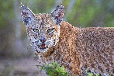 Portrait of a wild male Bobcat (Lynx rufus), Texas, USA. September.