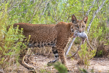 A female Bobcat (Lynx rufus) with Hispid cotton rat (Sigmodon hispidus) prey, Texas, USA. September.