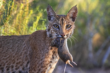 Portrait of a wild adult female Bobcat (Lynx rufus) with Hispid cotton rat (Sigmodon hispidus) prey, Texas, USA. September.
