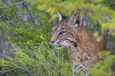 Portrait of a wild female adult Bobcat (Lynx rufus). Texas, USA. September.