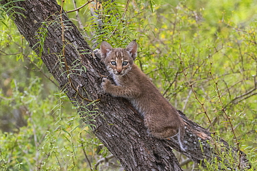 Portrait of a wild Bobcat (Lynx rufus) kitten with blue eyes climbing in a tree, Texas, USA. September.